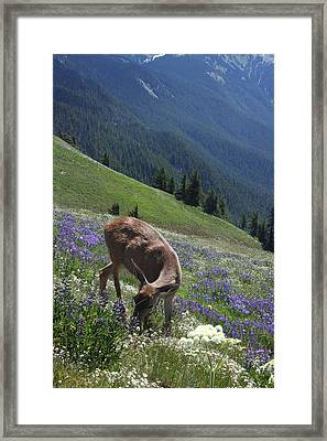 Black-tailed Deer And Lupines Framed Print by Mark Alder