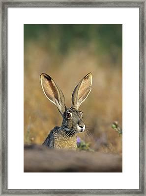 Black-tailed Jack Rabbit (lepus Framed Print