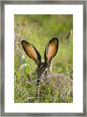 Black-tailed Jackrabbit Framed Print by Bob Gibbons