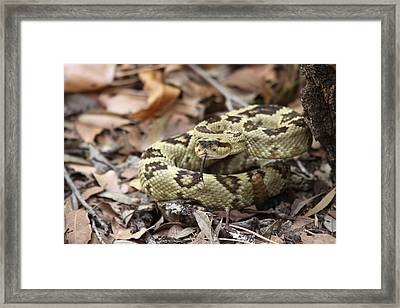Black-tailed Rattlesnake Framed Print