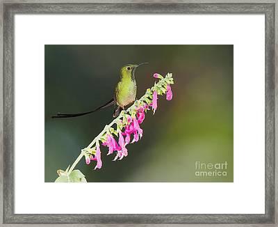 Black-tailed Train-bearer Hummingbird Framed Print by Dan Suzio