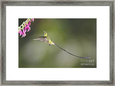 Black-tailed Trainbearer Hummingbird Framed Print by Dan Suzio
