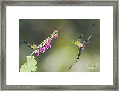 Black-tailed Trainbearer Hummingbirds Framed Print by Dan Suzio