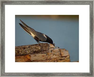Black Tern Fishing Framed Print