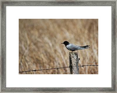 Framed Print featuring the photograph Black Tern by Ryan Crouse