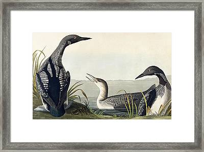 Black Throated Diver  Framed Print by John James Audubon