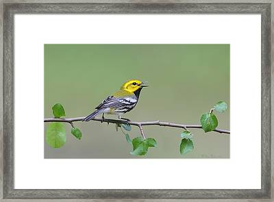 Black Throated Green Warbler Calling Framed Print by Daniel Behm