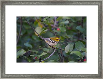 Framed Print featuring the photograph Black-throated Green Warbler by James Petersen
