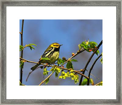 Black-throated Green Warbler Framed Print by Tony Beck