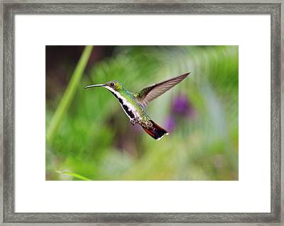 Black-throated Mango Hummingbird Framed Print