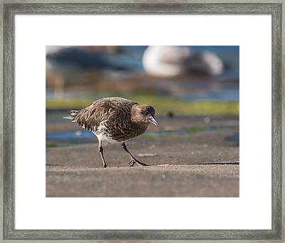 Black Turnstone Framed Print