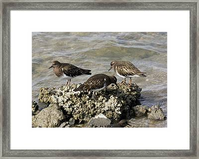 Black Turnstones Feeding Framed Print