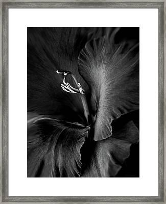 Black Velvet Gladiolia Flower Framed Print by Jennie Marie Schell