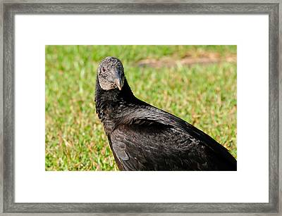 Black Vulture Framed Print