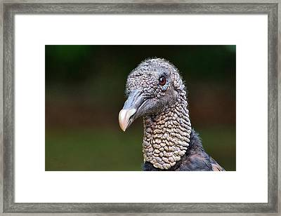 Black Vulture Framed Print by Ludwig Keck