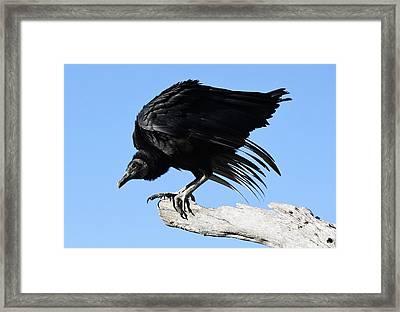 Black Vulture Framed Print by Paulette Thomas