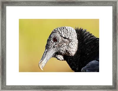 Black Vulture Portrait Framed Print