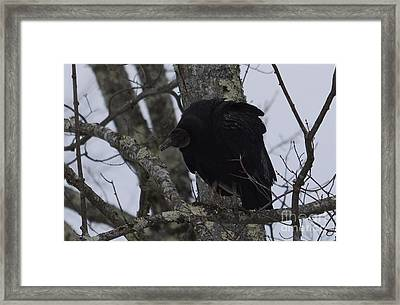 Framed Print featuring the photograph Black Vulture by Randy Bodkins