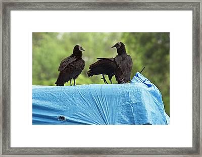 Black Vultures Framed Print by Bob Gibbons