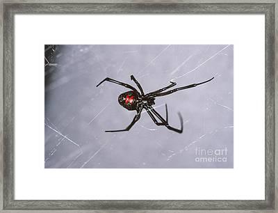 Black Widow Framed Print by Scott Camazine