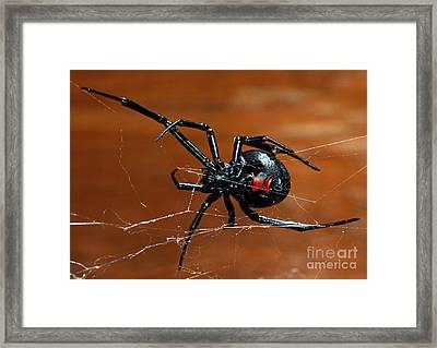 Black Widow Spider Framed Print by Francesco Tomasinelli