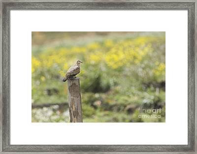 Black-winged Ground Dove Framed Print