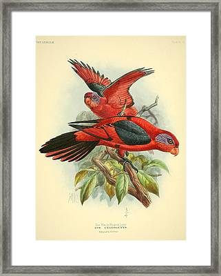 Black Winged Lory Framed Print