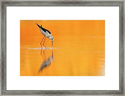 Black-winged Stilt Himantopus Himantopus Framed Print by Photostock-israel