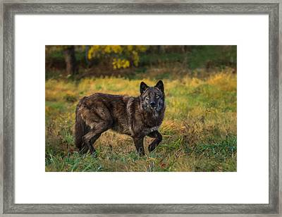 Black Wolf In Fall Colors Framed Print