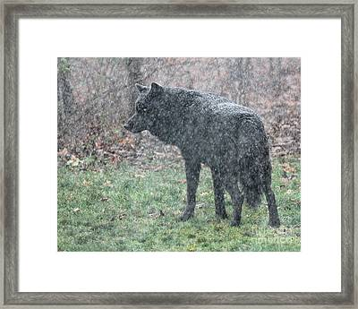 Black Wolf In Snowstorm Framed Print