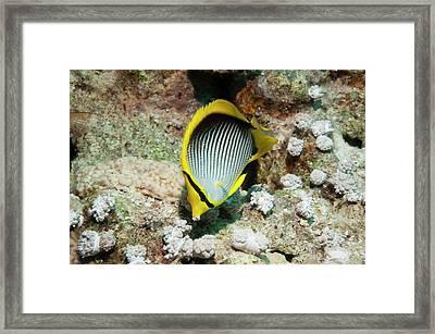 Blackback Butterflyfish Framed Print by Georgette Douwma