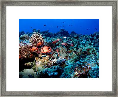 Blackbar Soldier Fish Under A Ledge Framed Print by Ocean Image Photography