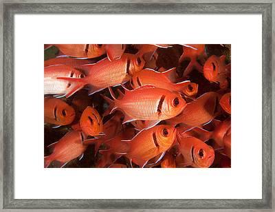Blackbar Soldierfish Framed Print by Andrew J. Martinez