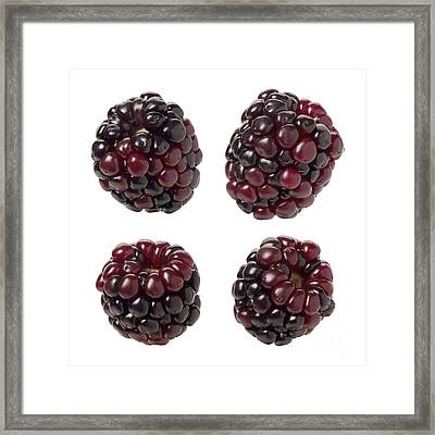 Blackberries  On White Framed Print by Danny Smythe