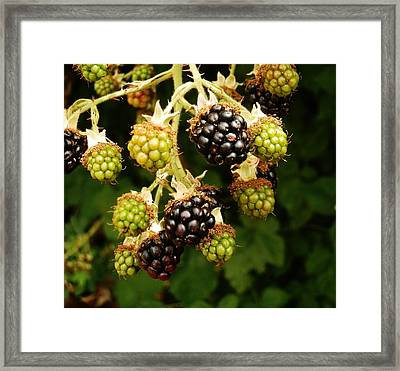 Blackberries Framed Print by VLee Watson