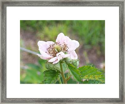 Framed Print featuring the photograph Blackberry Blossom by Belinda Lee
