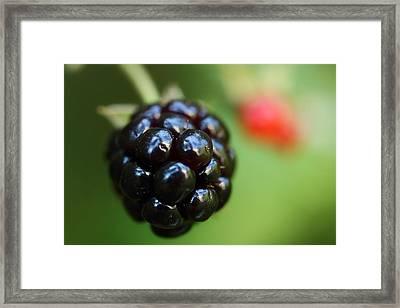 Blackberry On The Vine Framed Print by Michael Eingle