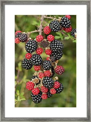 Blackberry (rubus Fruticosus) In Fruit Framed Print