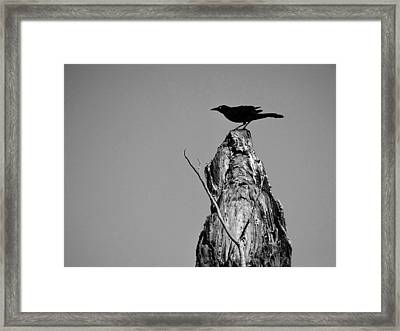 Blackbird Framed Print by David Mckinney