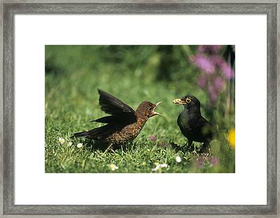Blackbird Feeding Young Framed Print