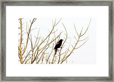 Blackbird Singing A Happy Tune Framed Print by Tina M Wenger
