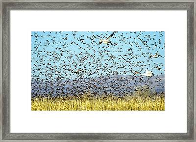 Blackbirds And Geese Framed Print