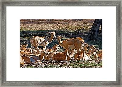Blackbuck Female And Fawns Framed Print