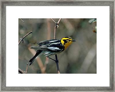Blackburnian Warbler Framed Print by Doug Herr