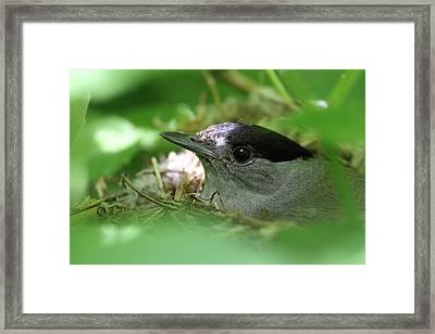 Blackcap On The Nest Framed Print