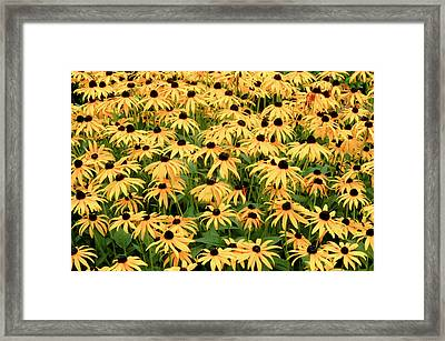 Framed Print featuring the photograph Blackeyed Susan by Geraldine Alexander