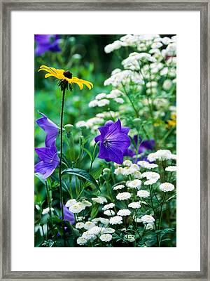 Blackeyed Susan Framed Print by Michael Hubley