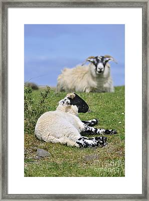 Blackface Sheep 2 Framed Print by Arterra Picture Library
