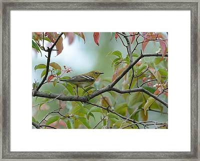 Blackpoll Warbler In The Fall Framed Print