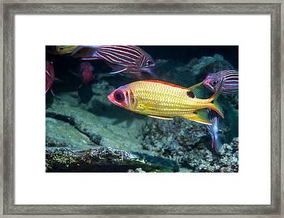 Blackspot Squirrelfish On A Reef Framed Print